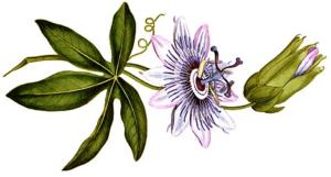 Infusión de Pasiflora